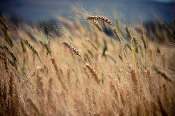 barley pic